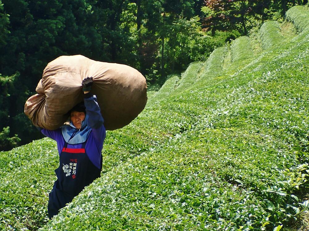 Boseong Daehan Green Tea Plantation South Korea Woman picking tea