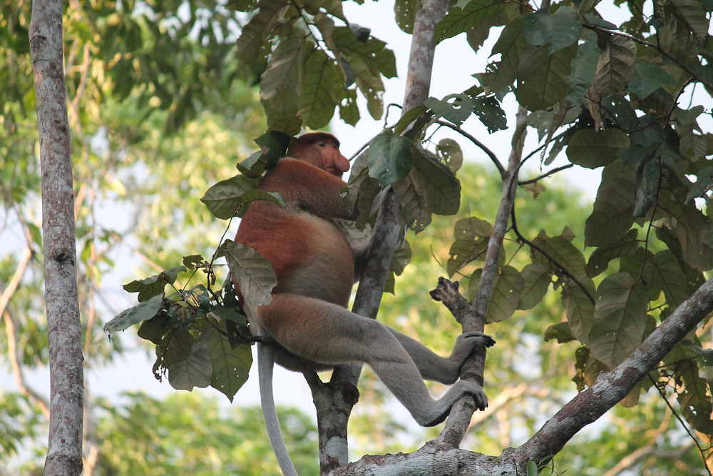 Beautiful Borneo: What to do in Sabah, Malaysia proboscis monkey kinabatang river four dirty feet