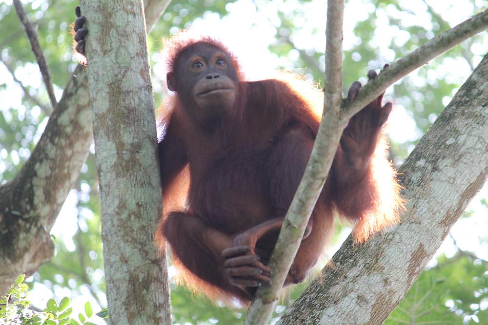 Beautiful Borneo: What to do in Sabah, Malaysia orang-utan sepilok four dirty feet