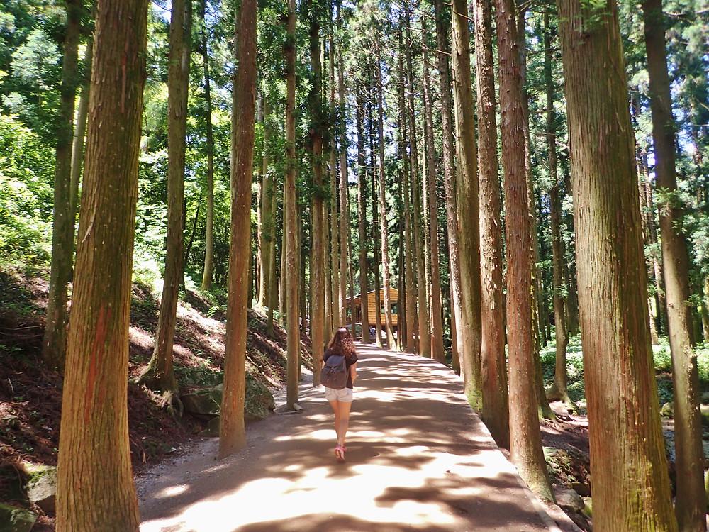 Boseong Daehan Green Tea Plantation South Korea
