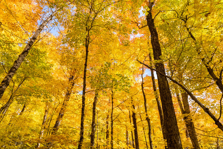 Golden Birches in Franconia Notch, White Mountains, NH