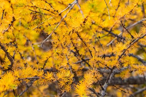 larch tree needles redo (1 of 1).jpg