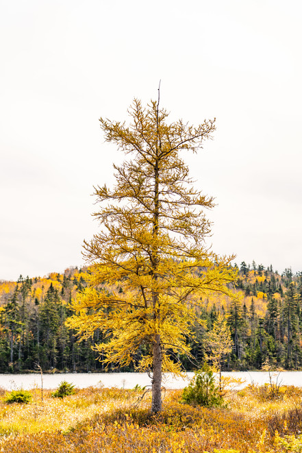 Golden Larch, White Mountains, NH