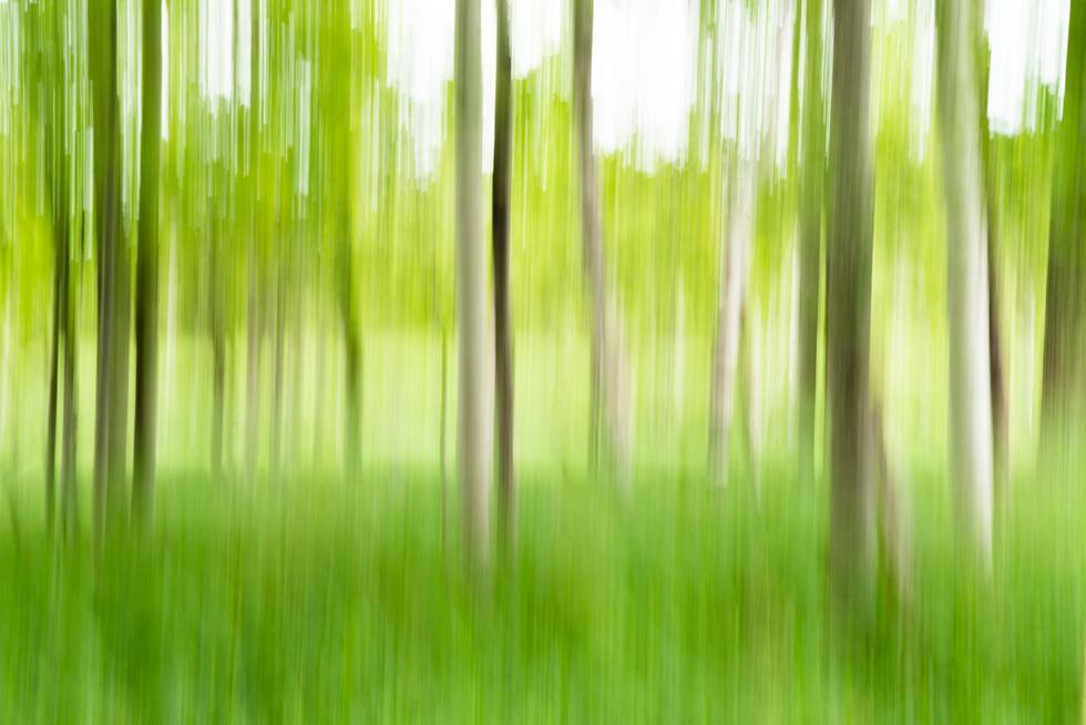 Birch Trees, Acadia National Park, ME