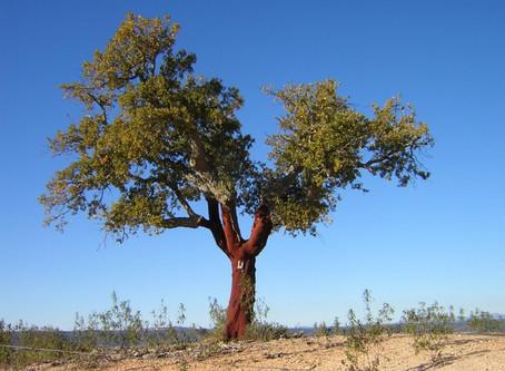Sobreiro, eleito a Árvore Europeia de 2018