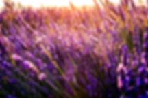 lavender and light.jpg