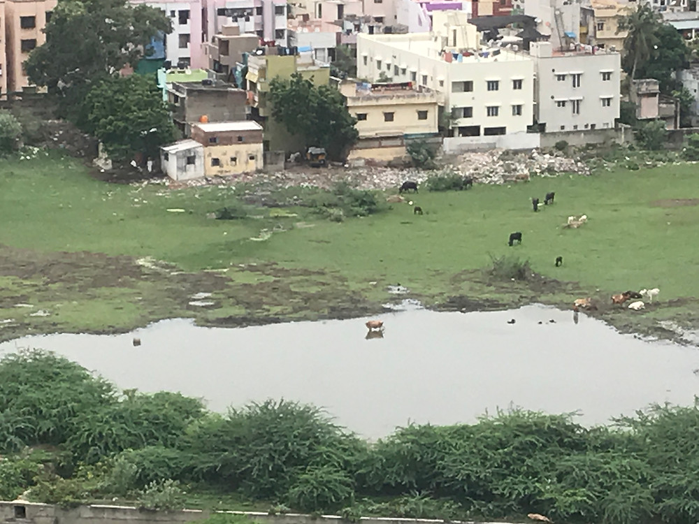 Cows bathing in a patch of water and situated amid the dense city, eating the garbage being dumped on the edge of the plot