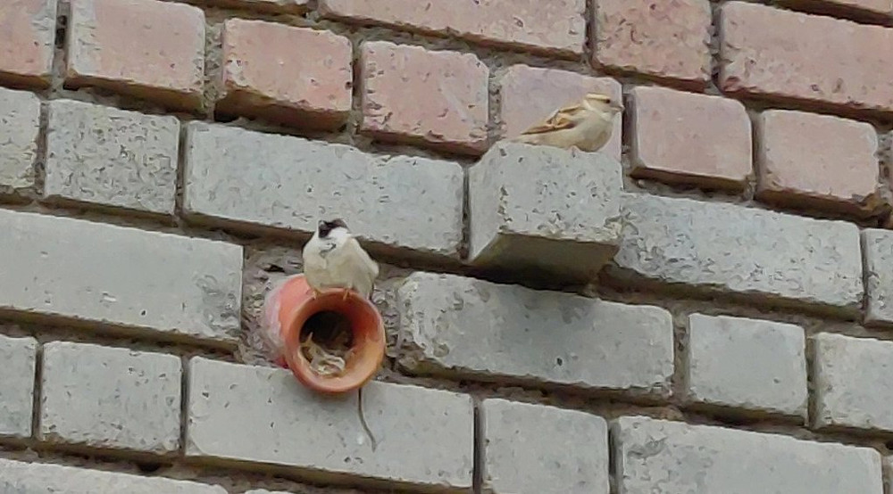 Sparrows perched and nested in Shivsagar School, Assam