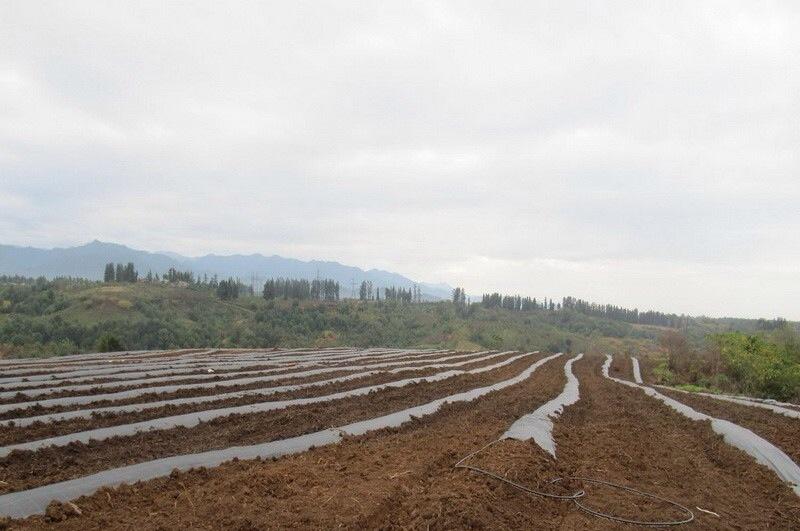 Закладка промислових плантацій голубики  підготовка грунту ac833c8021c5f