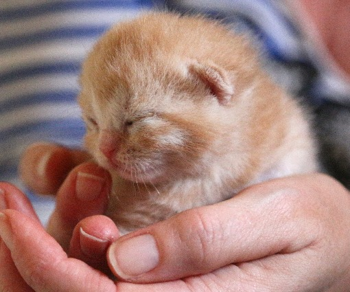 Red-silver-tabby1-1