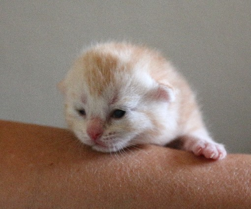Red-silver-tabby2-1