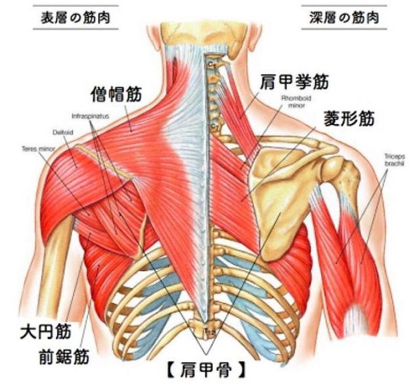 肩首 肩甲骨廻り 筋肉 表層 深層 8e9d6e65212932a79154ca