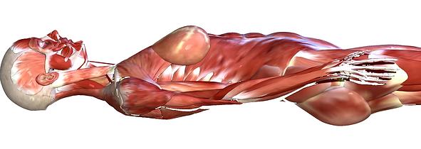 脊柱形状 筋肉 .png