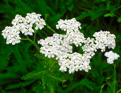 Yarrow growing on the somereset levels surrounding Avalon Herbal Medicine