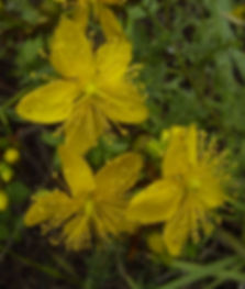 St Johns Wort at Avalon Herbal Medicine
