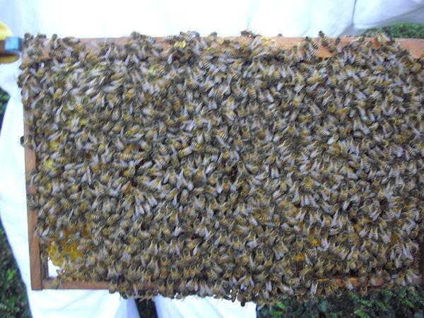 Busy worker bees caring for bood and honey stores. We do not harvest the honey in the brood box and leave them one super full overwinter