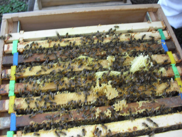 The hives hold eleven frames of brood