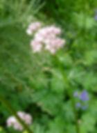 Avalon Herbal Medicine Valerian in bud