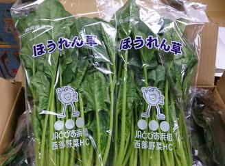 法蓮草(静岡県)