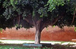 maroc tree