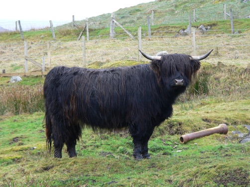 Black Highland