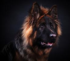 German Shepherd dog sitting against whit