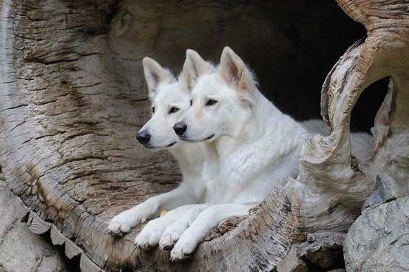 White Shepherd  Weisser Schweizer Schäferhund Berger Blanc Suisse.jpg