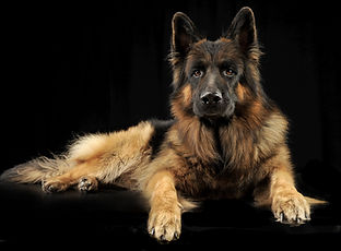 German shepherd dog relaxing in a black