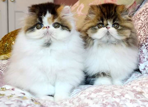 ABOUT/ NEWS | simcris quality exotic shorthair cats & persian cats