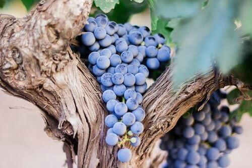 Blaue Weinreben in chilenischem Weinberg