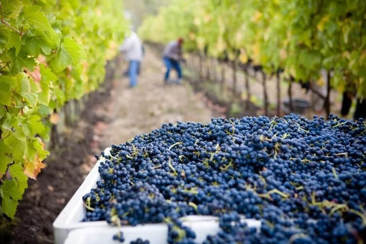 Blaue Weinreben in argentinischem Weinberg