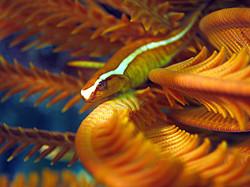 Featherstar Clingfish