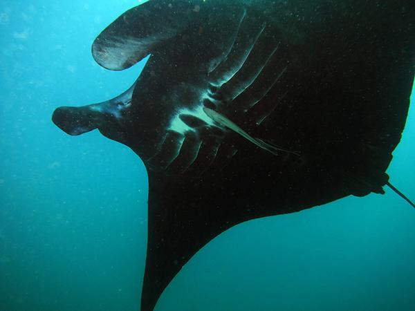 Black Oceanic Manta