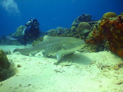 Observing A Leopard Shark