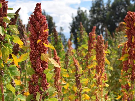 Le quinoa Los Chankas