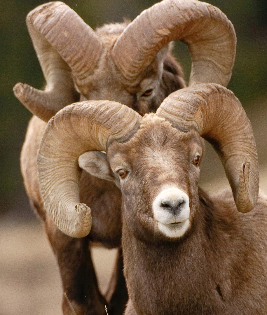bynum_bighorn-sheep-8252_edited.jpg