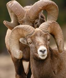 bynum_bighorn-sheep-8252_edited.jpg