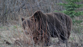 Take Politics & Emotion Out of Grizzly Bear Conservation