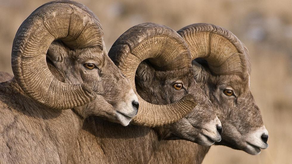bynum_bighorn-sheep-9985.jpg