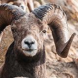 bynum_bighorn-sheep-7575.jpg