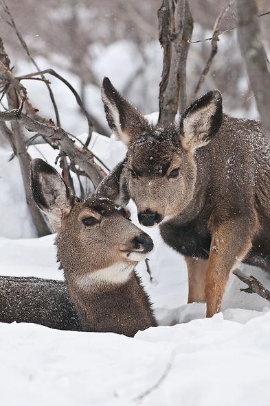 mule_deer_bynum-18-1.jpg