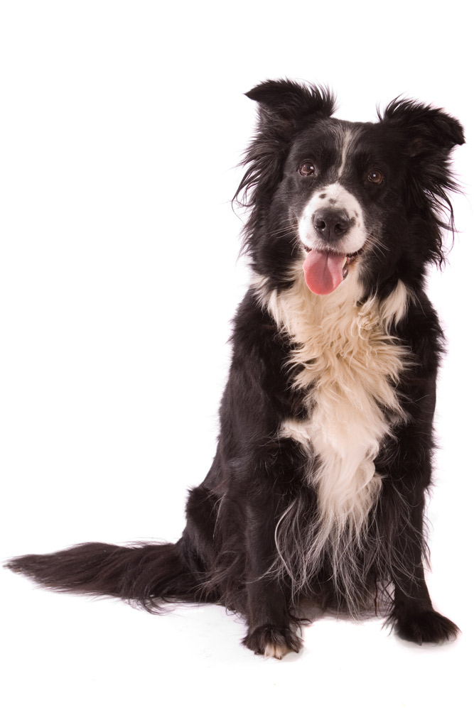 Relaxed Border Collie