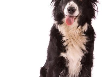 Cachorro pode ser vegano? Conheça o Bramble, 27 anos, ou 189 anos humanos!