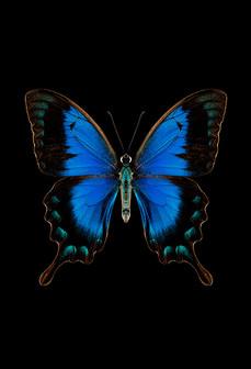 05 Papillon