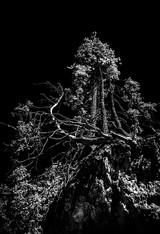 35 Dolomitenbaum
