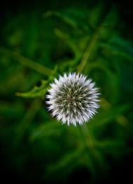 fleurmarteau