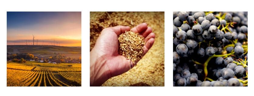 photos agricoles de vues d'un champ d'une main qui tient de l'orge et de raisins