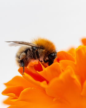 abeille qui butine sur une fleur
