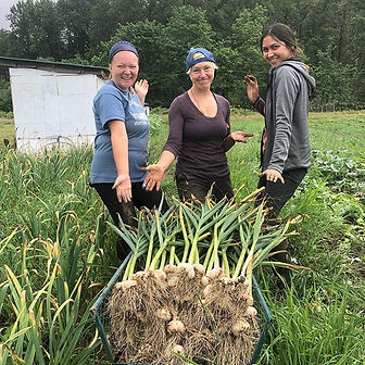High fashion garlic, harvested fresh and