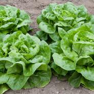 Lettuce-Butter-Crunch-Butterhead.jpg